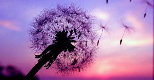 Chiêm ngưỡng bộ hình ảnh hoa bồ công anh lung linh bay trong gió