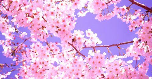 Ngất ngây cùng chùm hình ảnh hoa anh đào Nhật Bản tuyệt đẹp