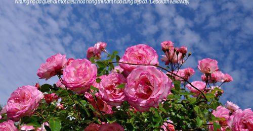 Stt về hoa hồng, những câu nói hay về loài hoa tình yêu bất tử