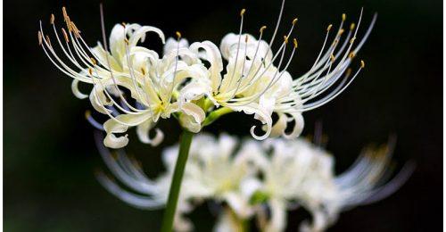 999+ Hình ảnh hoa Bỉ Ngạn trắng đẹp kiêu sa