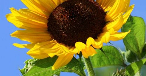 [BST] Hình ảnh hoa hướng dương khoe sắc – Loài hoa mặt trời đẹp