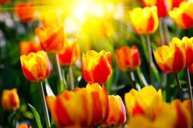 Ngỡ Ngàng Hình Ảnh Hoa Tulip Đẹp Cho Hình Nền Máy Tính, Điện Thoại