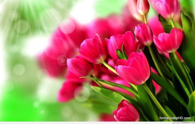 Hinh-anh-Hoa-Tulip-đep