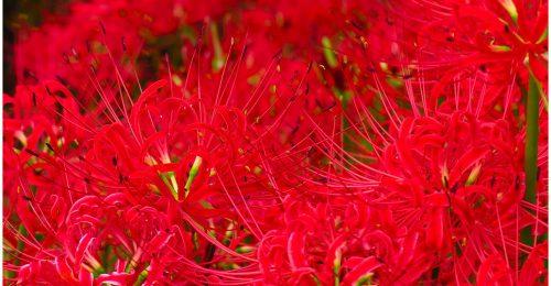 Hoa Bỉ Ngạn – Truyền thuyết và ý nghĩa của loài hoa này