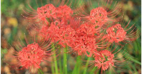 Top 101+hình ảnh hoa Bỉ Ngạn đỏ đẹp lung linh